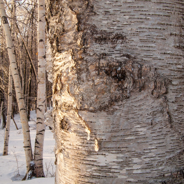 Birch After an Ice Storm
