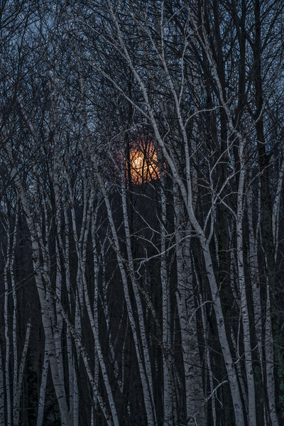 Orange Moon, White Birches