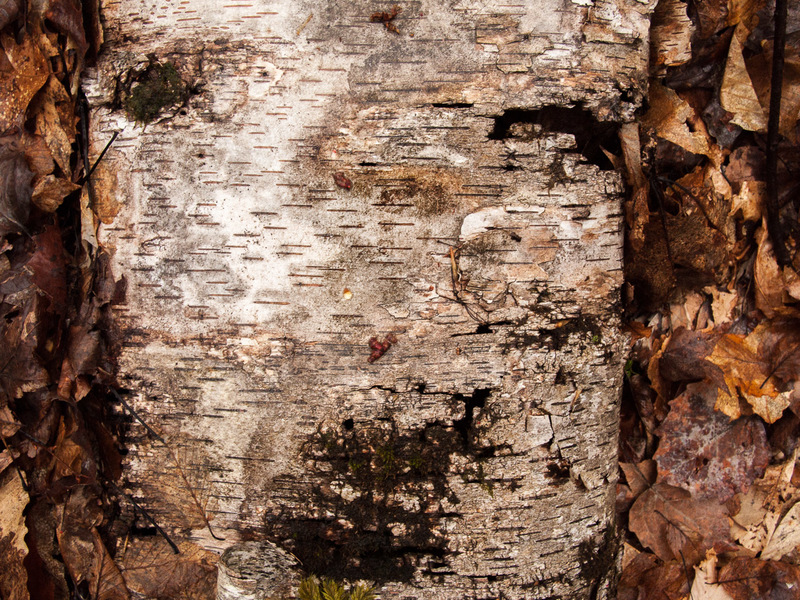 Birch Log on Forest Floor