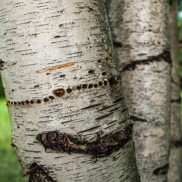 Birch Scared by Sapsucker
